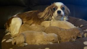 Gardai appeal for information after mother and pups stolen in Midlands